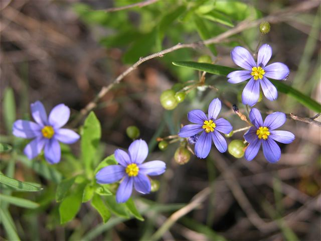 blue-eyed-grass-2.jpg